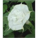 Datura Double White