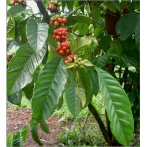 Coffea Arabica nana