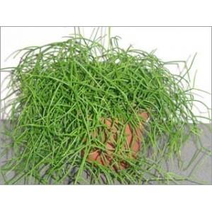 Cactus Rhipsalis Mix