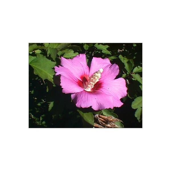 graines d 39 hibiscus syriacus grains de rose de sharon. Black Bedroom Furniture Sets. Home Design Ideas