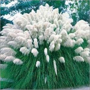 graines de cortaderia selloana white appel es aussi herbe de la pampa. Black Bedroom Furniture Sets. Home Design Ideas