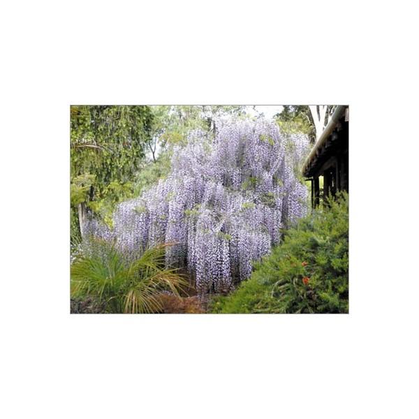 Graines de wisteria sinensis la glycine de chine - Graine de glycine ...