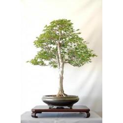 Acer Buergeranum