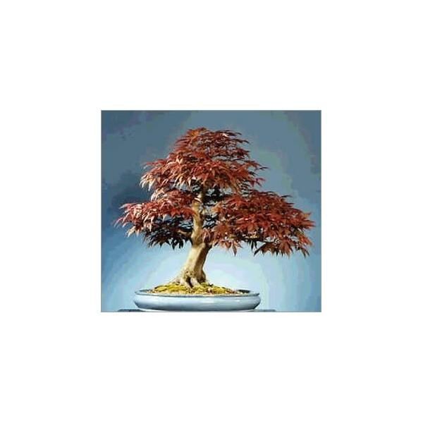 Vente de graines d 39 acer rubrum pour un beau bonsai - Arce rubrum bonsai ...