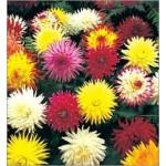 Dahlia Cactus Mix