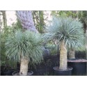 Yucca Rostrata (Lot de 10 graines)