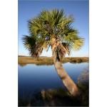 Sabal palmetto (Lot de 10 graines)