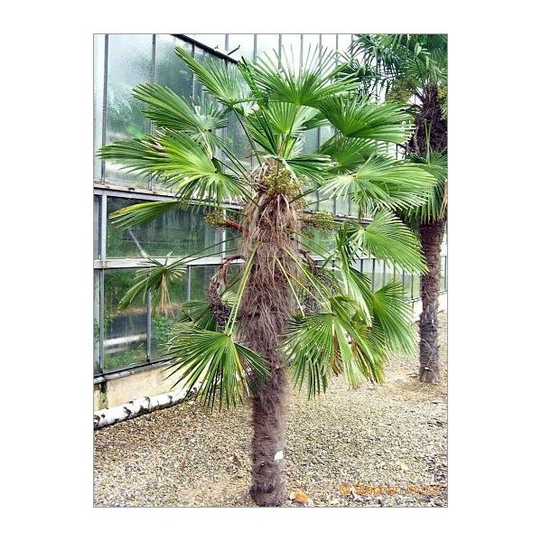 trachycarpus fortunei lot de 10 graines graines. Black Bedroom Furniture Sets. Home Design Ideas