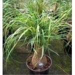 Beaucarnea recurvata (Lot de 10 graines)