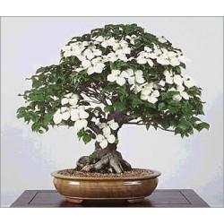 Cornus Kousa Chinensis