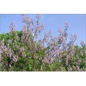 Paulownia Catalpifolia